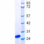 Gel analysis of hamster PrP
